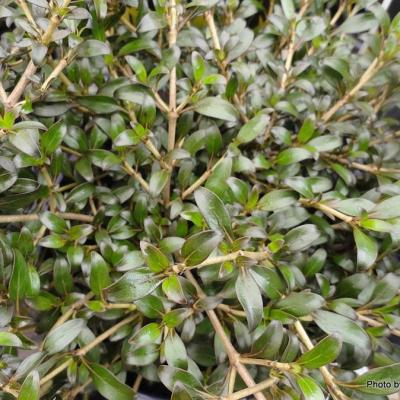 Coprosma Black Cloud-001-1
