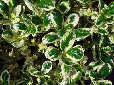 Coprosma Marble Queen-001