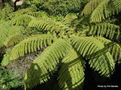 Cyathea medullaris. Black tree fern-1