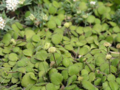 leptinella-rotundata